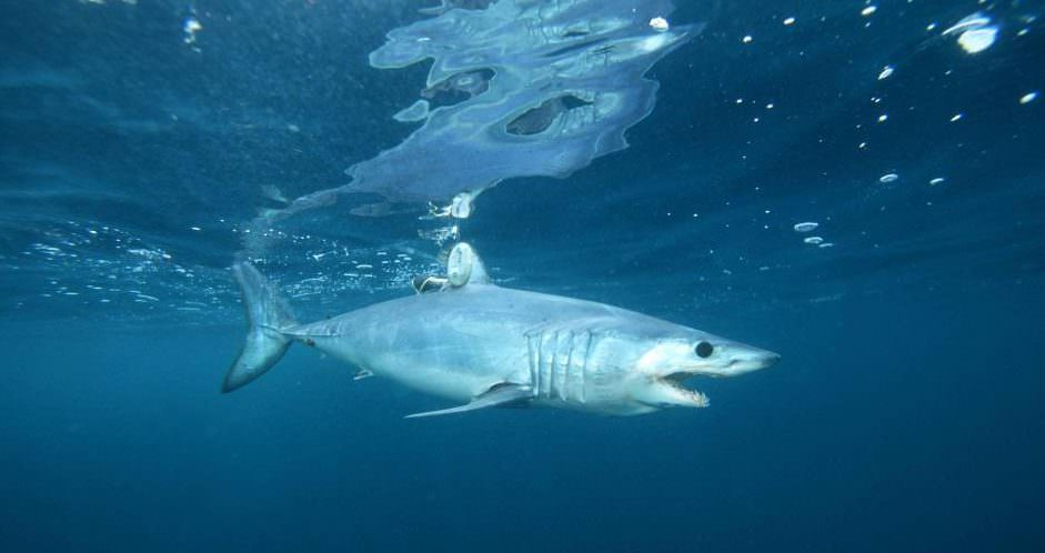 Tagged Mako Shark