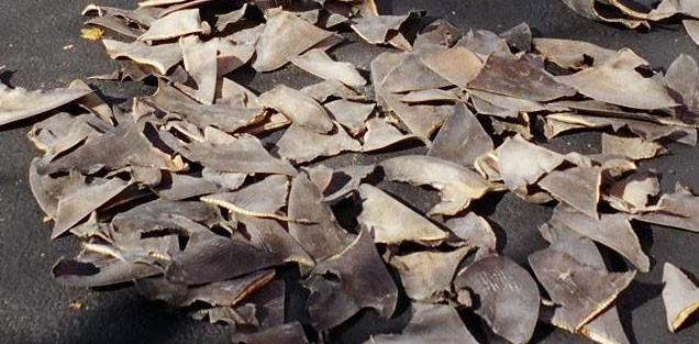 Shark Fins from an illegal capture
