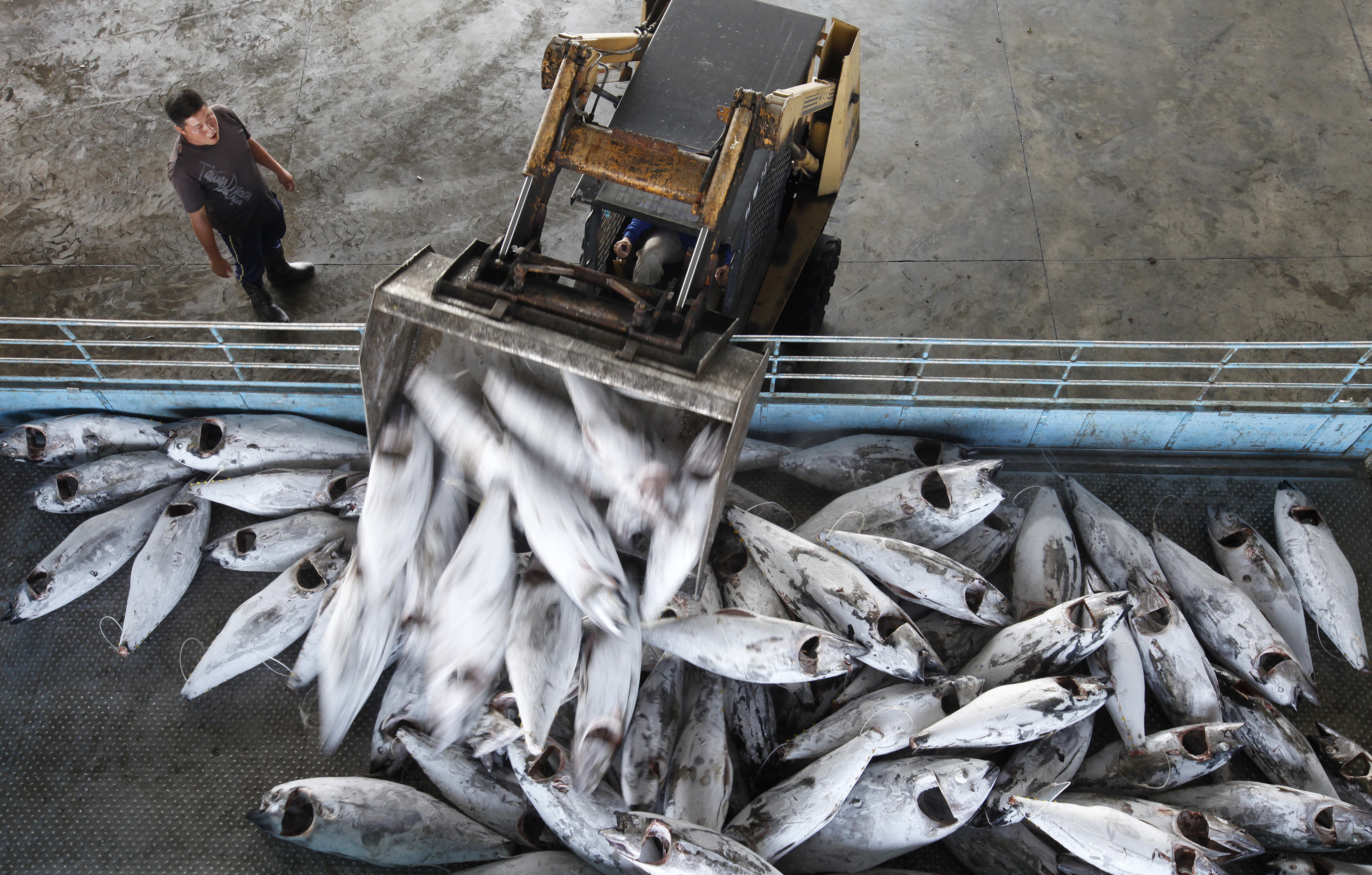Frozen bigeye tuna are loaded onto a truck at Dong Gang Wholesale fish market
