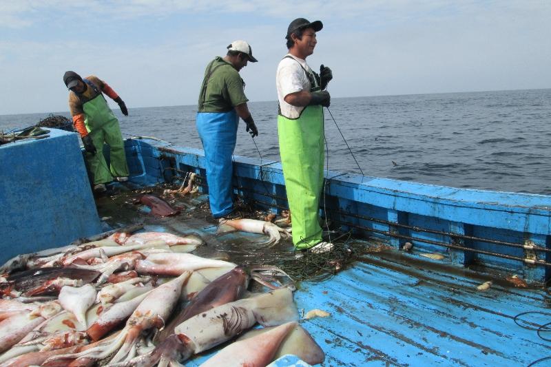 Peruvian artisanal vessel capturing giant squid