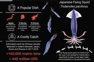 Flying Squid Japanese catch