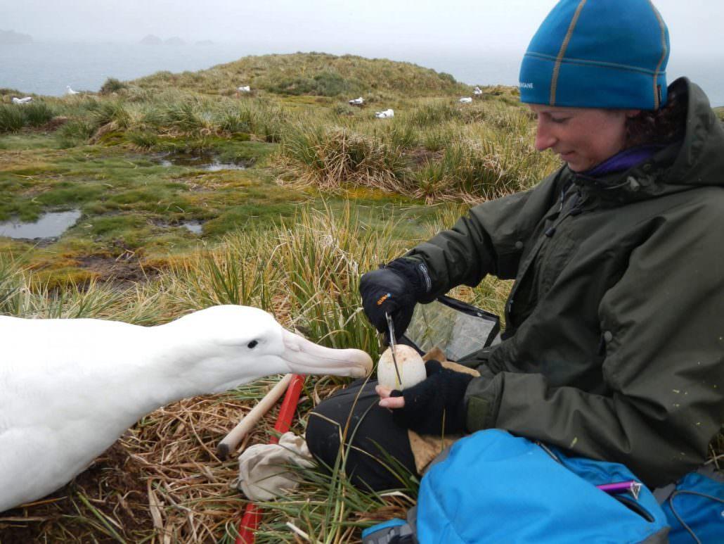 stephanie winnard measuring albatross egg