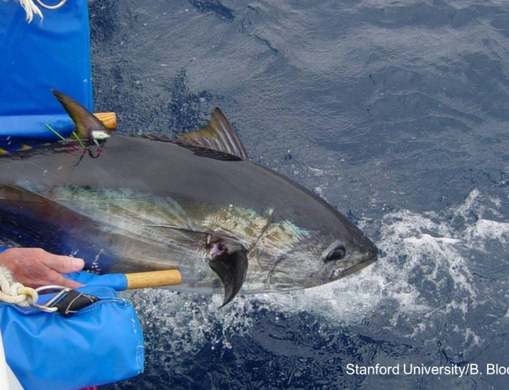 Predicting overlap of tunas, sharks, and ships at sea